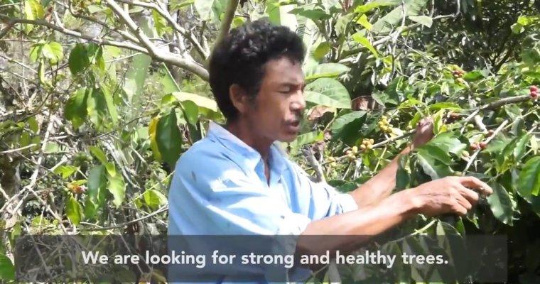 Genuine Origin Narata Nauli 2017 Green Coffee
